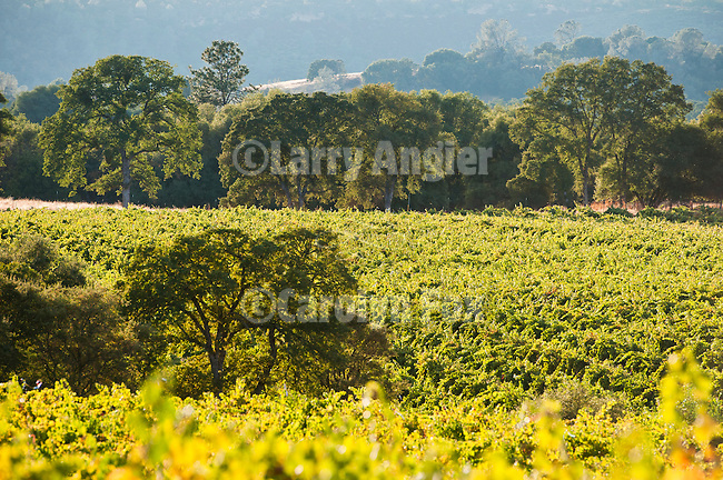 Vineyards and oaks in the landscape of Amador County's Shenandoah Valley