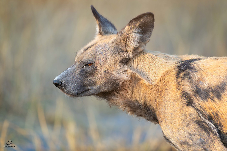 African Wild Dog (Lycaon pictus), a male with very pale coloration, pauses to check the sights, sounds and smells in the area. His pack was off on the hunt just a moment after this image was taken.