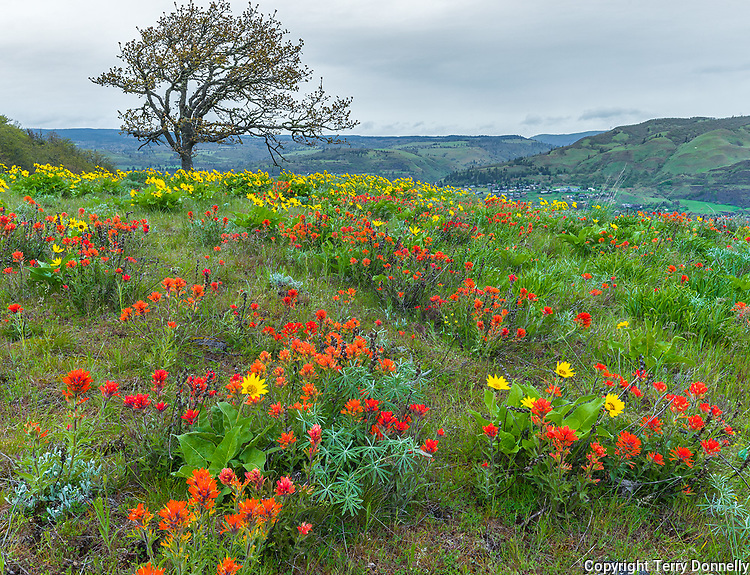 Columbia Gorge National Scenic Area,  OR<br /> Paintbrush and balsam root with a single gambel oak on McCall Point meadow above the  Columbia River, Tom McCall Nature Preserve at Rowena Crest