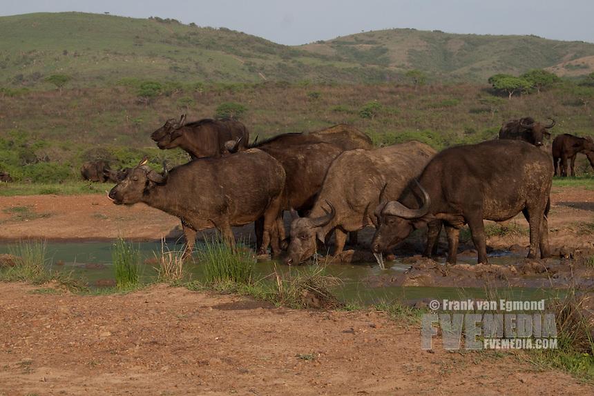African Buffalo (Syncerus Caffer)..Herd at a waterhole...Hluhluwe Imfolozi Game Reserve..Kwazulu-Natal, South Africa..November 2010.
