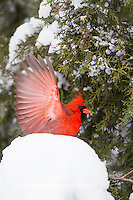 01530-21507 Northern Cardinal (Cardinalis cardinalis) male in Juniper tree (Juniperus keteleeri) in winter Marion Co. IL