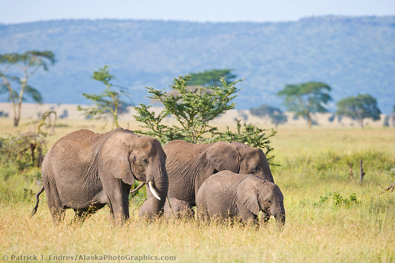 African Elephant, Serengeti National Park, Tanzania, East Africa