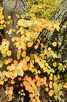 katsura tree, Arnold Arboretum, autumn, Boston, MA
