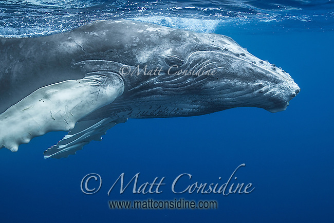 Humpback whale taking a closer look. (Photo by Underwater Photographer Matt Considine)