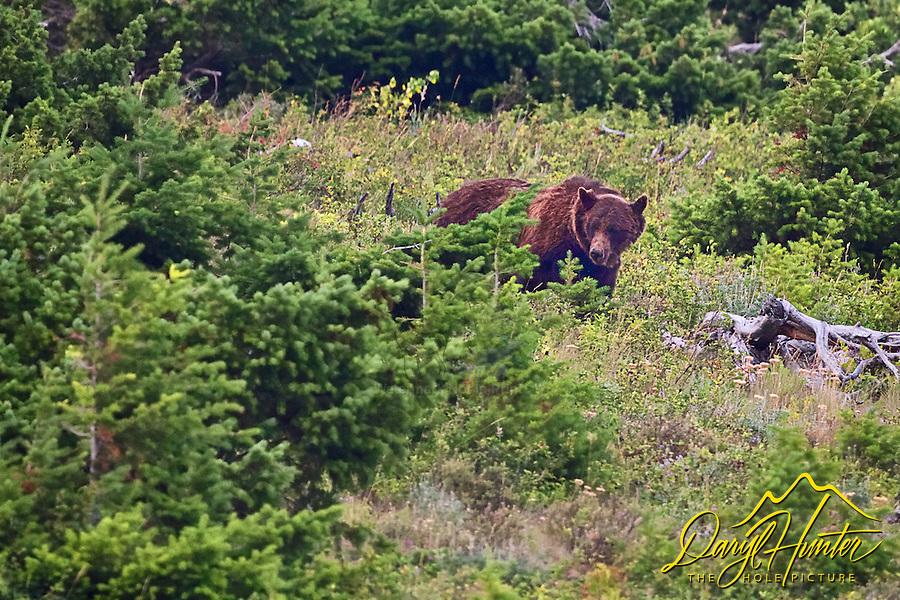 Grizzly Bear, Glacier National Park