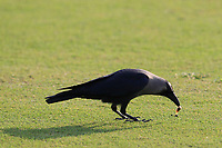 some wildlife on the 18th fairway during the final round of the DP World Tour Championship, Jumeirah Golf Estates, Dubai, United Arab Emirates. 18/11/2018<br /> Picture: Golffile | Fran Caffrey<br /> <br /> <br /> All photo usage must carry mandatory copyright credit (© Golffile | Fran Caffrey)