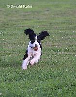 SH25-810z English Springer Spaniel Dog running