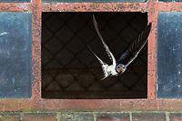 Rauchschwalbe, Rauch-Schwalbe, Schwalbe, Schwalben, fliegend, Flug, Flugbild, Stallfenster, Fenster, fliegt durch Fenster, Hirundo rustica, Swallow, barn swallow, flying, flight, Hirondelle rustique