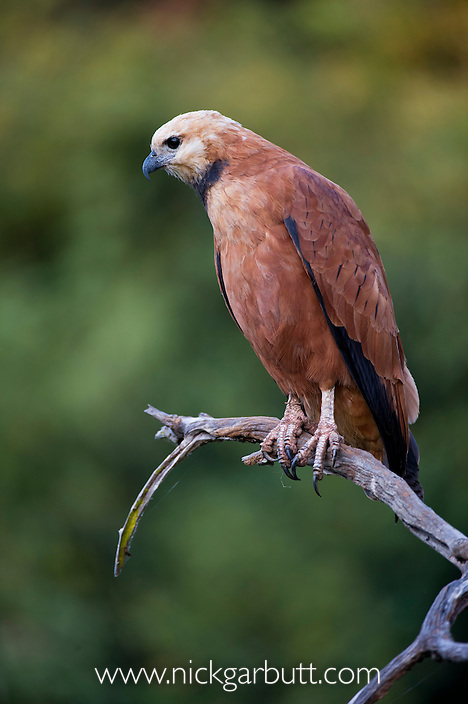 Black-collared Hawk (Busarellus nigricollis) perched on the banks of the Cuiaba River. Northern Pantanal, Brazil.