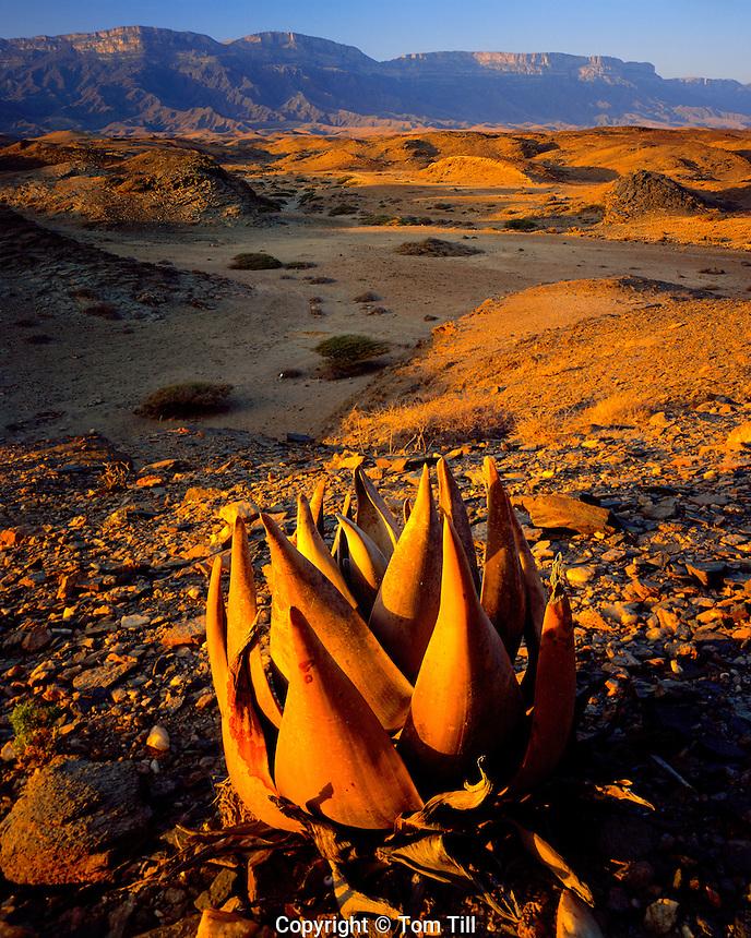 Jebel Samham Mountains, Sultanate of Oman   Arabian Pennisula   Aloe plant in foreround