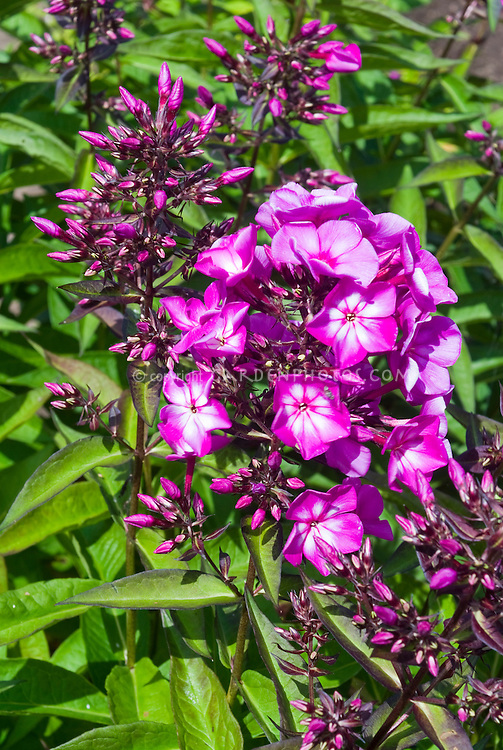 Phlox paniculata 'Magical Surprise' 213 Wisley Trials 2008 with dark tinted foliage and stems