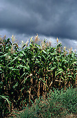 Goias, Brazil. Plantation of maize with threatening cloudy sky.