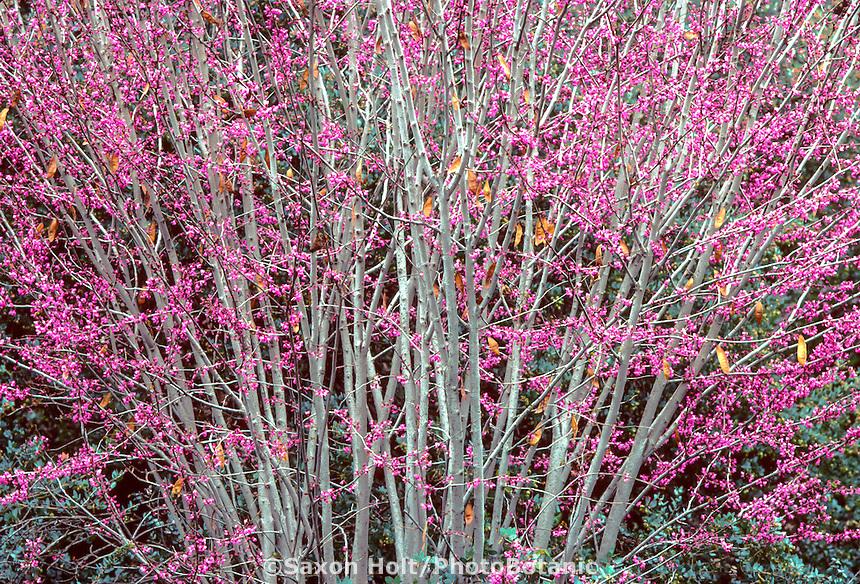 Cercis occidentalis flowering (Western Redbud) tree