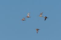 Pfuhlschnepfe, Trupp im Flug, Flugbild, fliegend, Pfuhl-Schnepfe, Schnepfe, Limosa lapponica, bar-tailed godwit