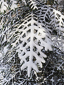 Bad Ragaz, Switzerland.  Filigree branch of tree covered in snow.