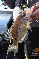 NWA Democrat-Gazette/FLIP PUTTHOFF<br />Most crappie the Usreys caught Nov. 24 2017 were caught around submerged timber with soft plastic crappie lures. This crappie bit a Bobby Garland Baby Shad.