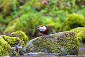 White-throated Dipper (Cinclus cinclus) perched on rocks, with head cocked. Dippers have a remarkable way to catch food in a niche area. They are able to dive under water readily at will and walk along the bottom in search of caddis fly larva and other food.