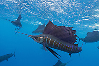 TK0269-D. Atlantic Sailfish (Istiophorus albicans), highly prized gamefish growing to at least 3 meters long and 60 kilograms in weight. Some consider this the same species as the Indo-Pacific Sailfish (I. platypterus). Feeds on squid, crustaceans and various fish, including baitfish such as sardine and mackerel. A migratory species, usually solitary or in small groups but sometimes aggregating with up to 30 or more other sailfish when feeding on baitfish. They are capable of amazing color changes, from solid black to silver, sometimes even showing electric blue banding. Gulf of Mexico, Mexico, Caribbean Sea.<br /> Photo Copyright &copy; Brandon Cole. All rights reserved worldwide.  www.brandoncole.com