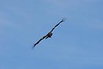 Flying California Condor