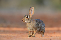 Eastern Cottontail (Sylvilagus floridanus), adult, South Texas, USA