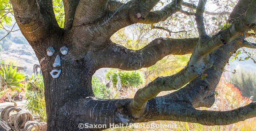 Whimsical spirit man in the Oak tree in California garden (Quercus agrifolia).