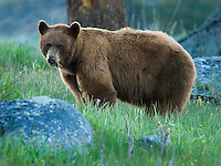 Cinammon or light brown is just one color phase of the black bear (Ursus americanus) which can range from pure black to near blond