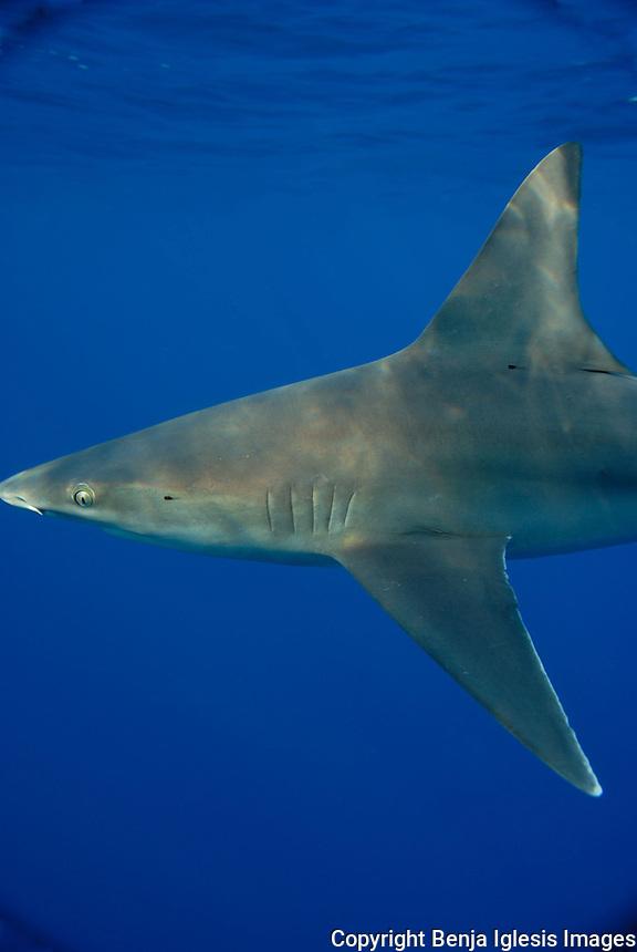 Images of sharks around Hawaiian waters.<br /> <br /> Imagenes de tiburones en las costas de Hawaii.