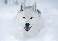 Wolf running in snow