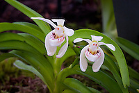 Trudelia pumila aka Vanda pumila orchid species