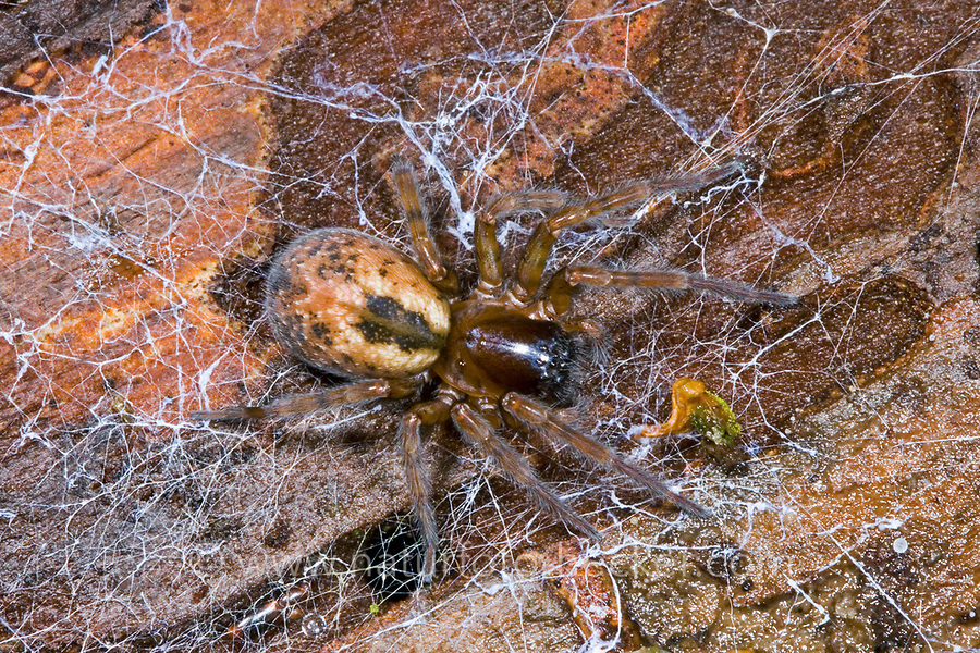 Fensterspinne, Finsterspinne, Kellerspinne, Amaurobius fenestralis, Lace weaver spider, lace-webbed spider, window lace weaver, House spider mouthparts, Finsterspinnen, Fensterspinnen, Amaurobiidae