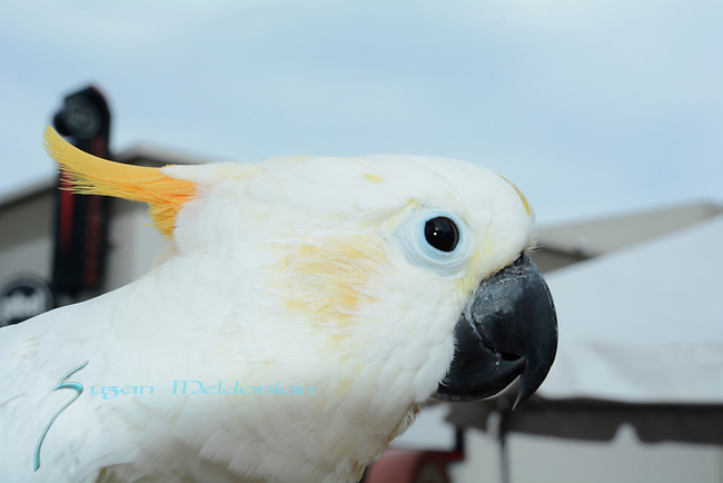 Citron Sulphur crested Cockatoo  at West Palm Beach Green Market,
