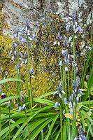 Blue Bells flowering in springtime
