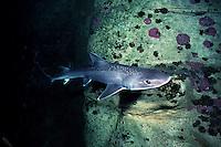 Gummy shark, Mustelus antarcticus