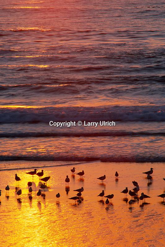 Gulls at sunset<br /> Pescadero State Beach<br /> San Mateo County<br /> California
