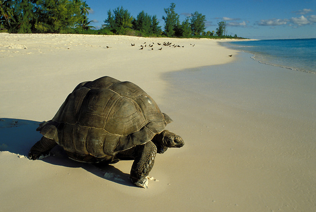 SEYCHELLES,BIRD ISLAND GIANT TORTOISE HEADING TOWARDS OCEAN ON WHITE SAND BEACH