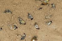 Wattschnecke, Watt-Schnecke, auf dem Wattboden, im Watt, Hydrobia ulvae, Peringia ulvae, laver spire snail, laver mud snail