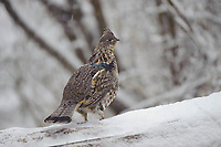 Male Ruffed Grouse (Bonasa umbellus) perched on a snow covered drumming log. Okanogan County, Washington. April.
