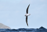 White-headed Petrel - Pterodroma lessonii