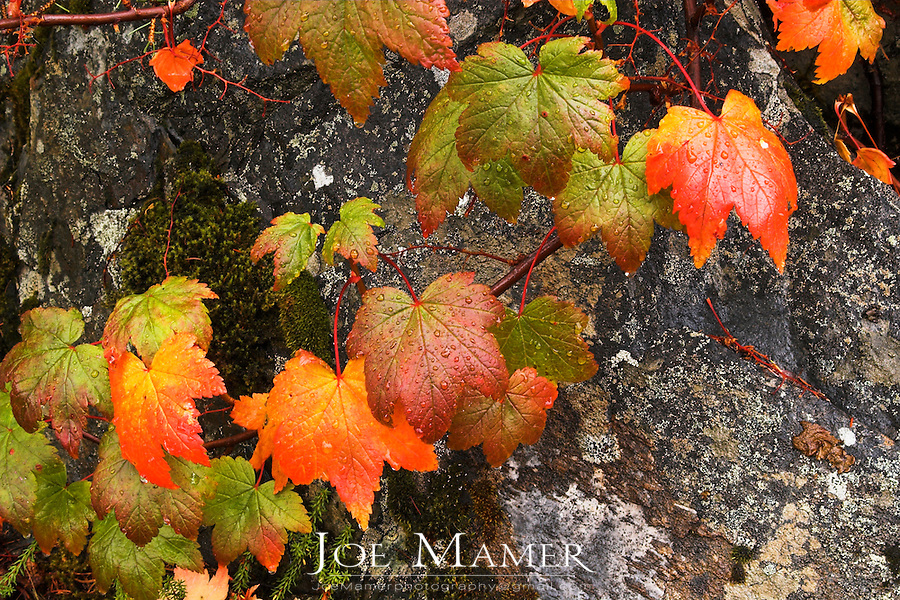 Douglas maple leaves against granite during rain shower.