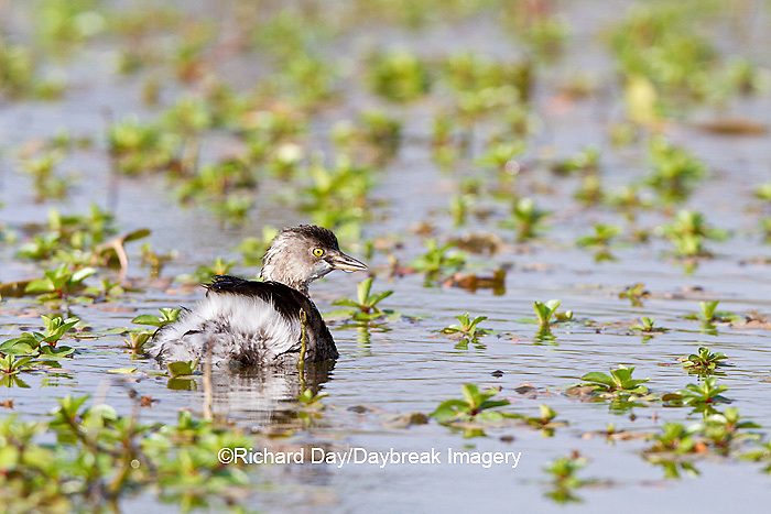 00611-00102  Least Grebe (Tachybaptus dominicus) in wetland, Starr Co., TX