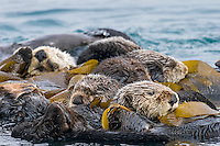 "Southern Sea Otters (Enhydra lutris nereis) wrapped in kelp.  Central California Coast.  Being wrapped in kelp helps keep the otters from drifting away with the tide/current/wind while resting.  A resting group of sea otters is called a ""raft."""