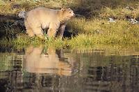 spirit bear, kermode, black bear, Ursus americanus, mother in the rainforest of the central British Columbia coast, Canada
