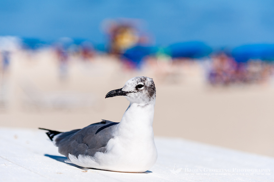 US, Florida, Miami Beach. Laughing Gull in winter plumage.