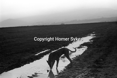 Appleby in Westmorland. 1981  <br /> A lurcher, traditionally a cross between sight hound and another dog at the Appleby Horse Fair.