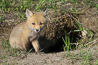 Red Fox Kit sitting on the edge of the entrance to its den
