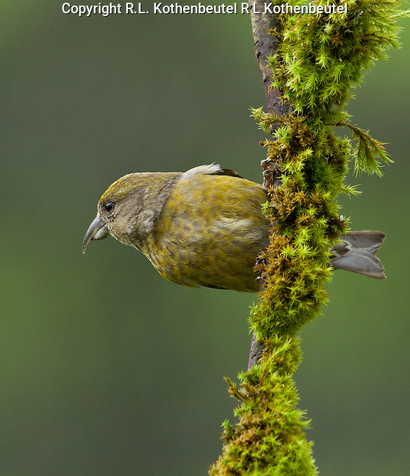 Red crossbill )Loxia curvirostra) Adult female perched sideways on an upright moss covered branch.<br />