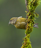 Red crossbill )Loxia curvirostra) Adult female perched sideways on an upright moss covered branch.<br /> Woodinville, King County, Washington State<br /> 6/1/2012
