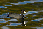American Coot, Sepulveda Wildlife Refuge, Southern California