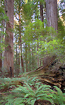 Rockafellar Forest in Humboldt County