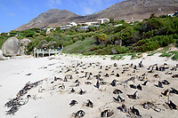 Spheniscus demersus, Brillenpinguine mit Nest bei der brutpflege, African penguins with nest and brood caring, or Jackass penguin or black-footed penguins, Suedafrica, Simons Town, False Bay, Boulders Beach, South Africa